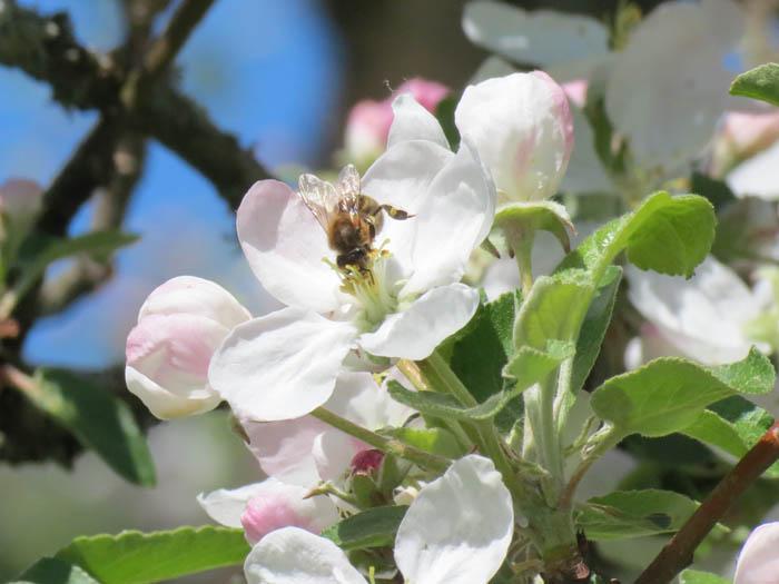 Õunapuuõiel